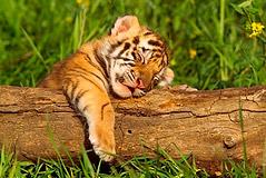 Drawn tigres sleeping tiger - Pencil and in color drawn tigres ...
