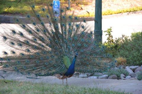 Dance like a peacock