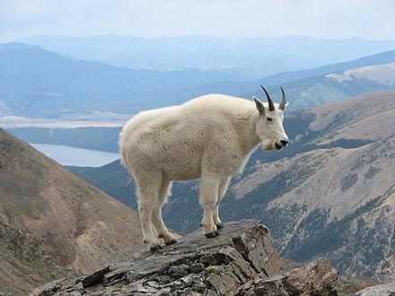Mountain Goat: Source http://en.wikipedia.org/wiki/Mountain_goat