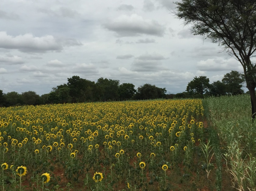 sunflower_fields